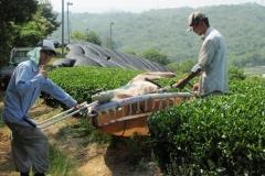 Japanese tea harvesting