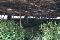 Gyokuro farm