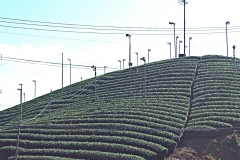 Japanese tea field